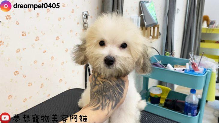 好久不見的美容影片 貴賓小幼犬一枚  dog grooming | 夢想寵物美容107