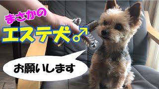 【美容】美容に目覚めた⁈愛犬がこちら(笑)【ヨークシャテリアのしんちゃん】