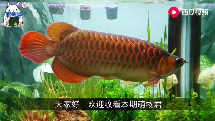 男子专给金龙鱼做美容,一条鱼收费过万,死了照价赔偿!